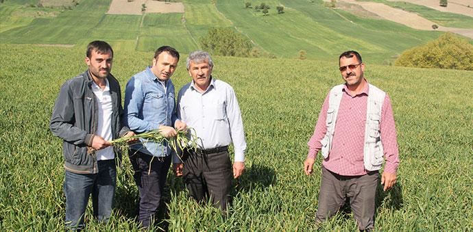 Buğdayda Septorya Hastalığına Dikkat