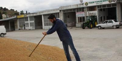 Havza'da hasatla birlikte buğday pazarı hareketlendi