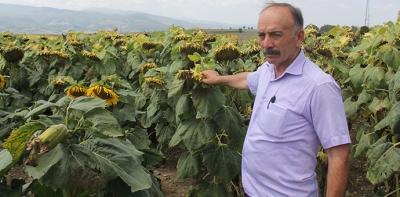 Karadenizbirlik Ayçiçeği Alım Fiyatını Açıklandı